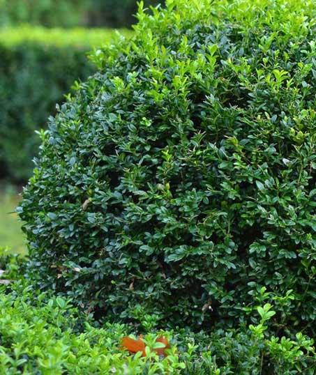 A A Green Landscaping LLC Shrubs & Hedges